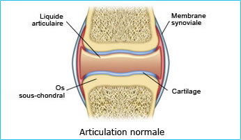 articulations normale